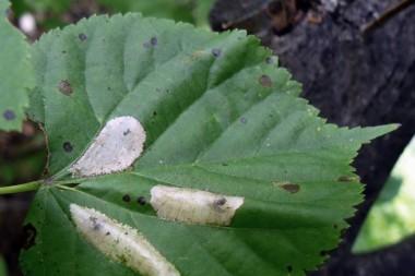 Мины липовой моли-пестрянки Phyllonorycter issikii  на листе липы