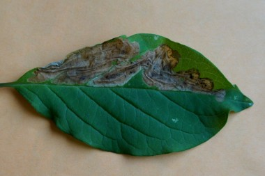 Мина сиреневой моли-пестрянки Gracillaria syringella на листе сирени