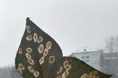 Листья с типичным повреждениями (минами) тополевой моли-пестрянки.