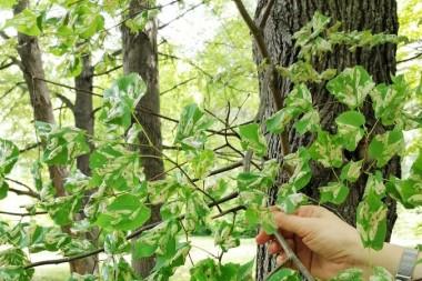 Массовое повреждение листьев липы мелколистной инвазионной липовой молью-пестрянкой, Phyllonorycter issikii.