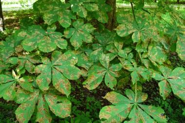 Массовое повреждение листьев каштана конского инвазионной каштановой минирующей молью, Cameraria ohridella.